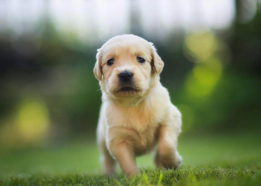puppy-cost